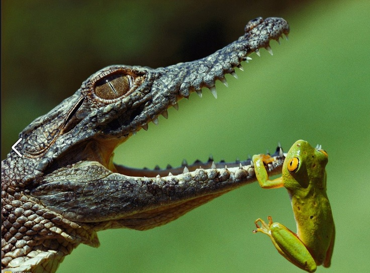 uh oh....: The National, Hanging In There, National Geographic, Crocodile, The Edge, South Africa, Writing Prompts, Photo, Animal