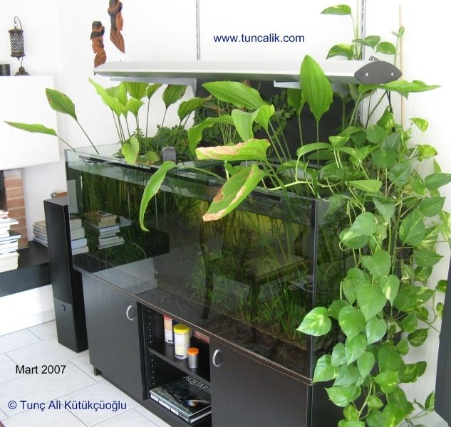 A 160x60x60cm community aquarium with indoor plants. Golden pothos (Epipremnum pinnatum) on the right side, two Echinodorus grandiflorus in the middle, climbing fig at the back on the left side