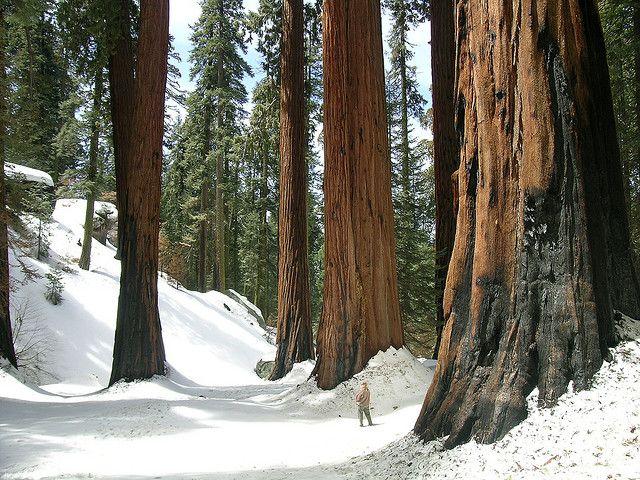 Sequoias in snow