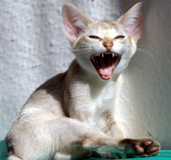 Singapura Kitten Images