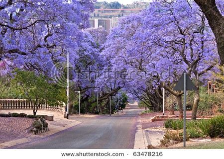 Jacaranda Tree's lining the streets of Pretoria in October