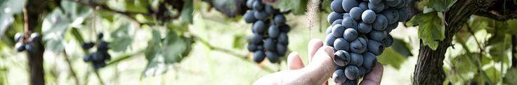 Piemonte Albarossa - Incrocio ALBAROSSA. - Vini Rossi - Azienda Vinicola Bava - Vini rossi e bianchi di Langhe e Monferrato - Piemonte