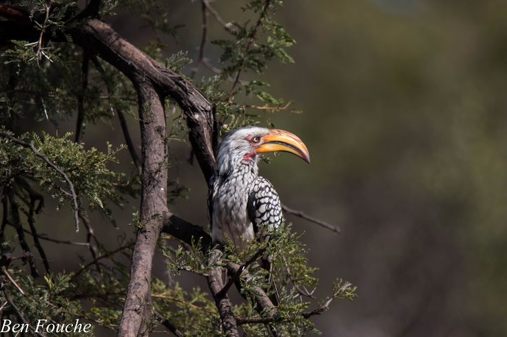 Southern Yellow-billed Hornbill, Geelbekneushoringvoël, (Tockus leucomelas)