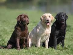 razze cani -labrador Cerca con Google