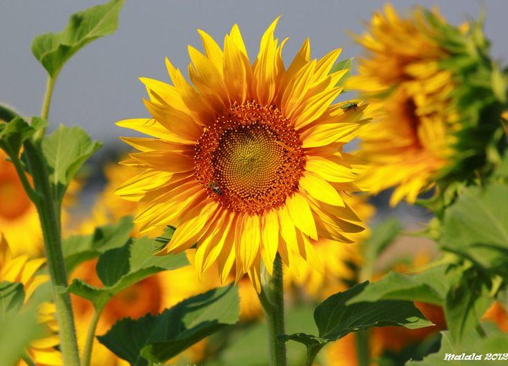 Gardens Fun, End Of Summer, Rise Sun, Sun Photography, Nature Gardens, Flower Nature Ornaments, Brilliant Sunflowers, Happy Flower, Flower Sunflowers