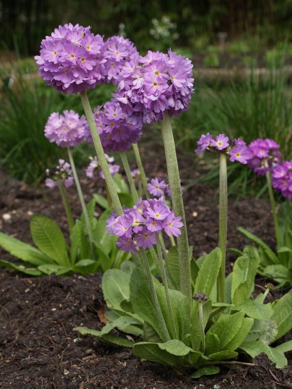 PRIMULA DENTICULATA  from Secret Garden Growers