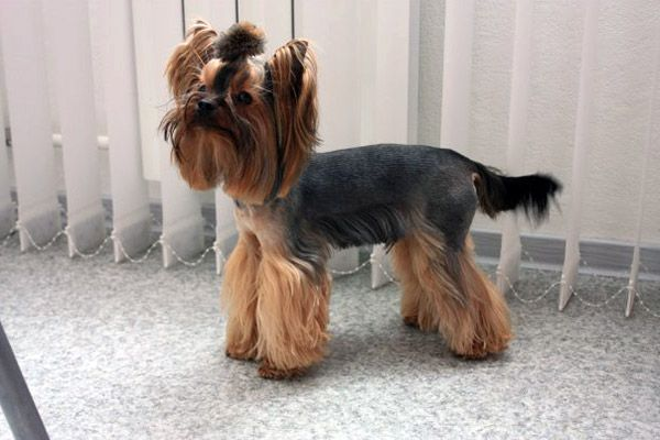 Explore Yorkie Haircuts Pictures And Select The Best Style