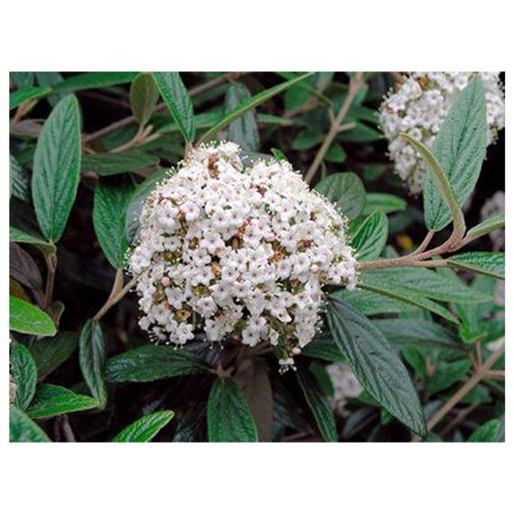 Pragense Viburnum Snowball 3 Plants 1115 Tall