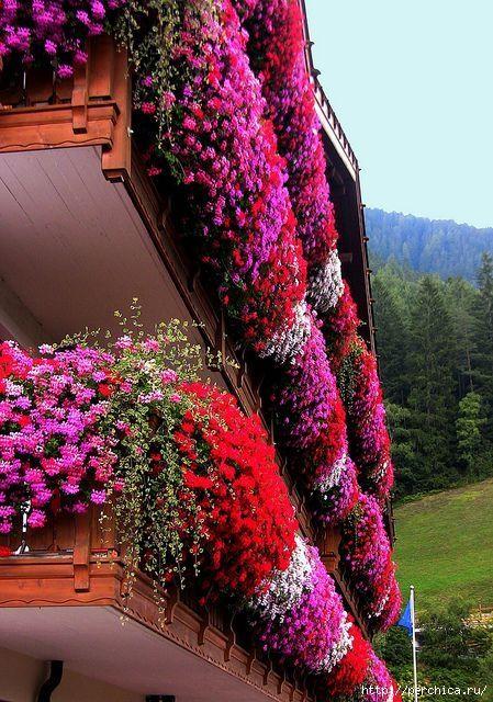 Посадка и уход ампельных растений для украшения терассы или балкона. Обсуждение на LiveInternet - Российский Сервис Онлайн-Дневников