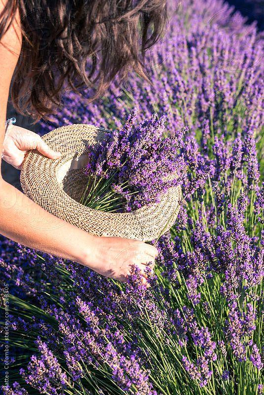 France, Provence Alps Cote d'Azur, Haute Provence, Plateau of Valensole. Woman picking up lavender flowers