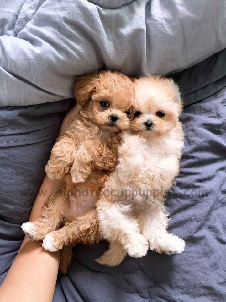 Maltipoo More Like A Doll Than A Doll Https Www Alohateacuppuppies Com Teacupmaltipoo Maltipoo Mal Teacup Puppies Super Cute Puppies Maltipoo Puppy