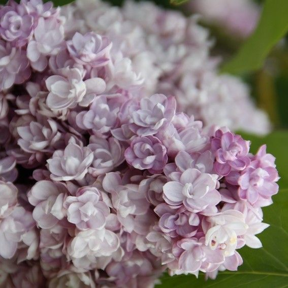 syringa (common name - Lilac)