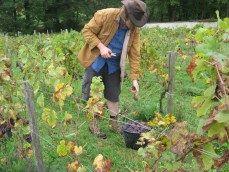Paul harvesting the Pinot Meunier