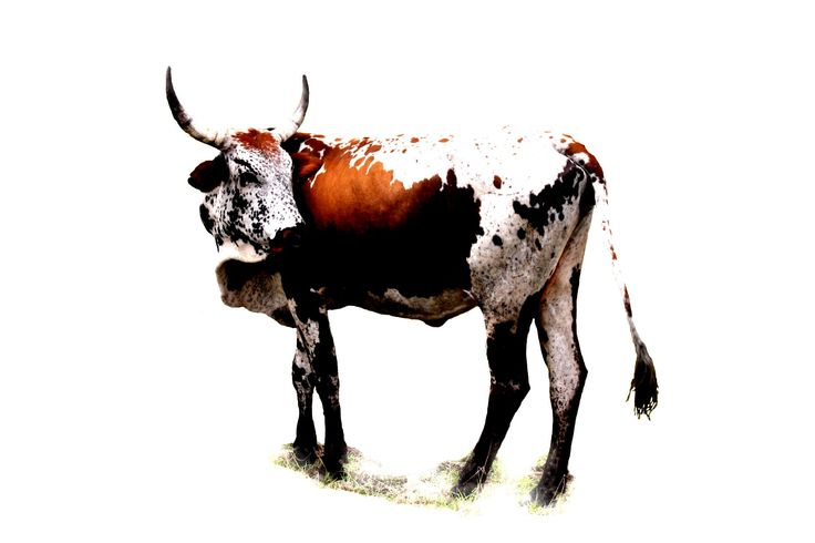 Are you coming? - Nguni Canvas Prints