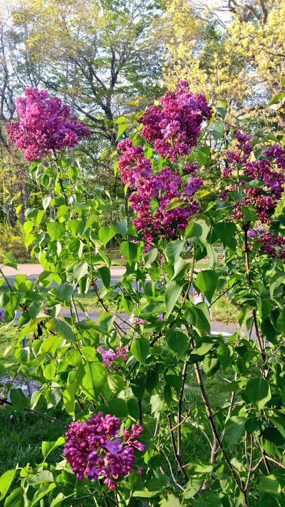 Pin On Lilacs