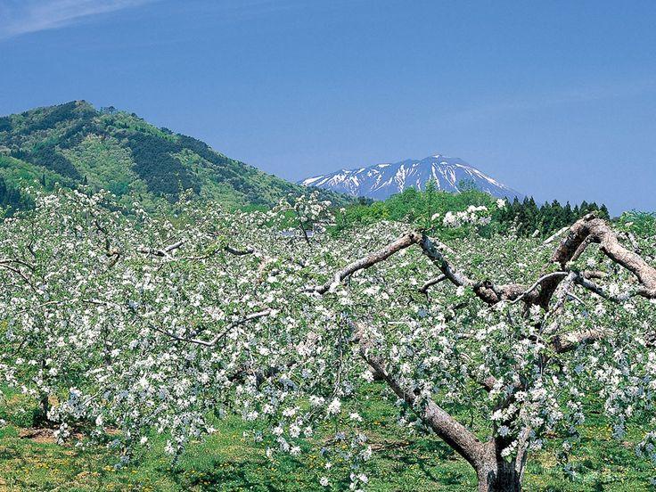リンゴの花と岩手山