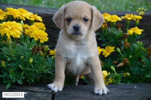 Puggle Puppy for Sale in Indiana