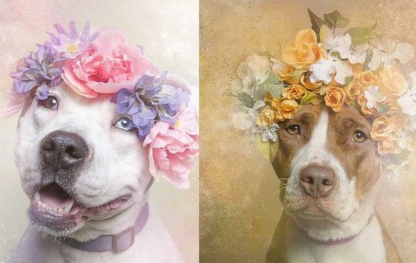 Pit bulls have a bit of a vicious reputation. But photographer Sophie Gamand has set out to capture the breed's softer side by showing the dogs in a series of dreamy floral portraits. She's selling prints of the photos, and will soon release a 2015 calendar. All proceeds benefit the rescue shelters she's working with for the project: www.sophiegamand.com