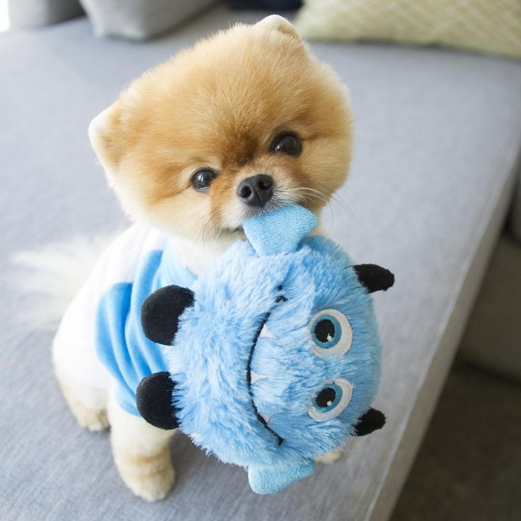Jiff the Pomeranian Dog with New 'Happy Smiling' Toy