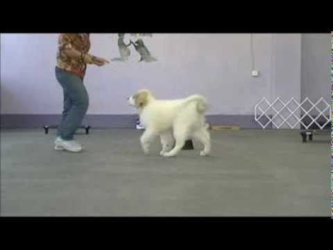Great Pyrenees Puppy Training - YouTube