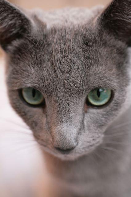 Augenfarbe Russisch Blau? - Katzen Forum