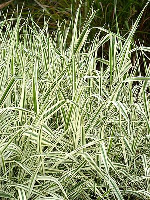 54 best images about grass on pinterest perennial for Can ornamental grasses grow in shade