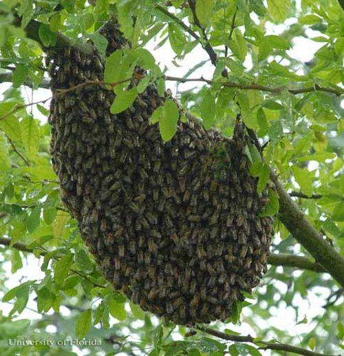 African honey bee, Apis mellifera scutelatta Lepeletier, swarm in tree