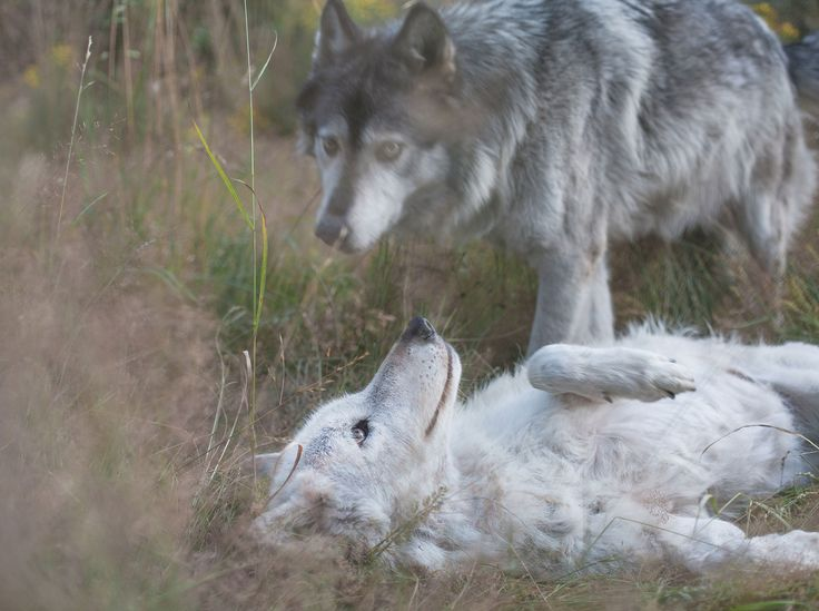 Picture of two wolves playing together in the grass, one laying   down, one standing up - Jesse and Shiloh