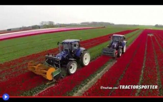 L'unica ragione per distruggere un campo di tulipani Come polli che chiocciano la loro triste condizione, posti dentro gabbie appena sufficienti a sopravvivere facendo uova, per il massimo vantaggio dell'industria e del commercio. Finché l'ascia non di #olanda #fiori #piante #agricoltura