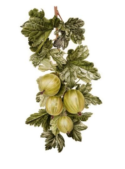 Botanical | Gooseberries