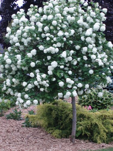 How to Grow Snowball Trees: 5 Steps (with Pictures) - wikiHow (these with under plantings of hydrangea, etc??