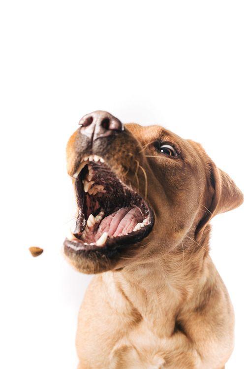 Aaachtung - Leckerchen im Anflug!   #Pfotentick #Schappschuss #Hundefotografie #Studio #Shooting #Finja #labrador #dog #photography