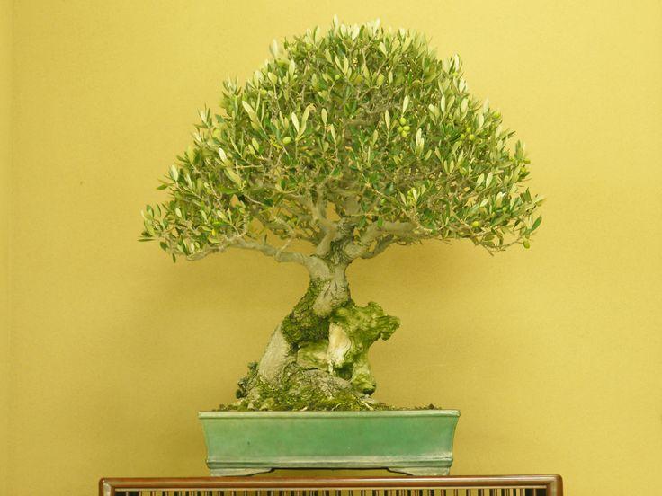 実付きオリーブの盆栽(春花園盆栽美術館)