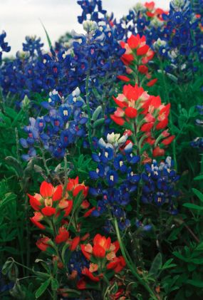 Bluebonnets and Indian Paintbrush, common in Texas in the spring.  Colorful additions to the pasture!