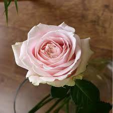 Картинки по запросу роза свит аваланж