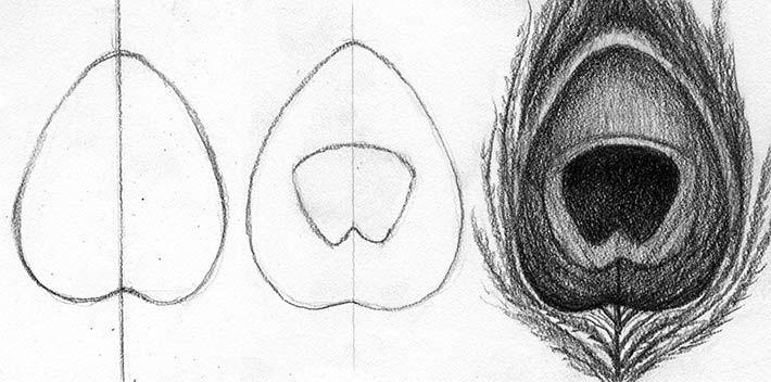 estructura de las plumas de pavo real y formas básicas