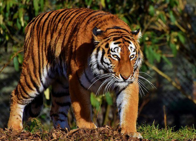 Tigris, Macska, Ragadozó, Vadmacska