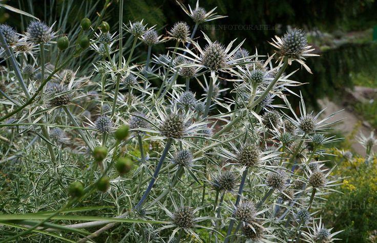 Bild von Eryngium bourgatii – Spanische Mannstreu, Spanische Edeldistel, Pyrenäendistel