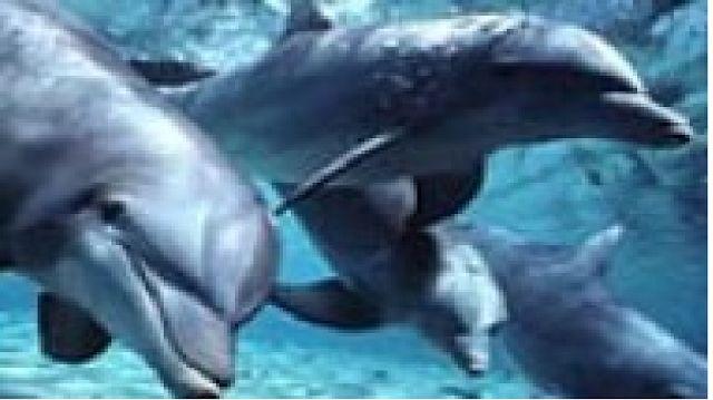 GENIO Italiano Giuseppe Cotellessa: Il segreto dell'apnea nei mammiferi marini / The a...
