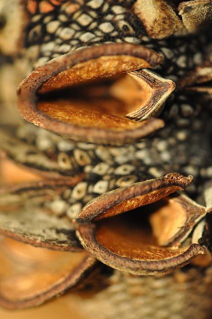 Banksia follicles -macro
