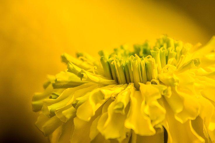 Marigold #2 by snapshotdatabase on 500px