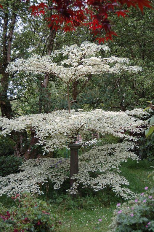 24 best images about ornamental landscape trees on. Black Bedroom Furniture Sets. Home Design Ideas