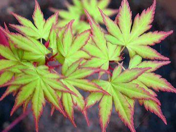 Acer Palmatum Sango-kaku, Japanese maple or Coral bark maple Tree