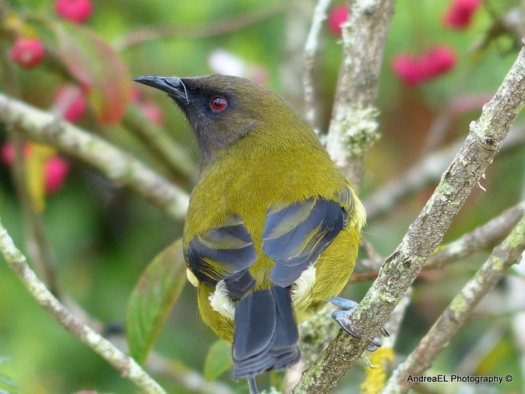 NZ Bellbird - AndreaEL Photography Southland New Zealand