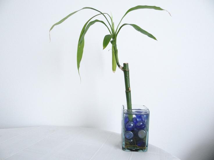 Lucky Bamboo..Mucha Suerte..!!!