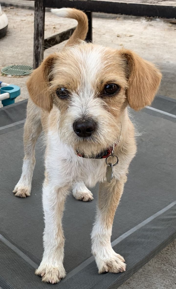 Adopt Audi On Terrier Mix Terrier Mix Dogs Chihuahua Terrier Mix
