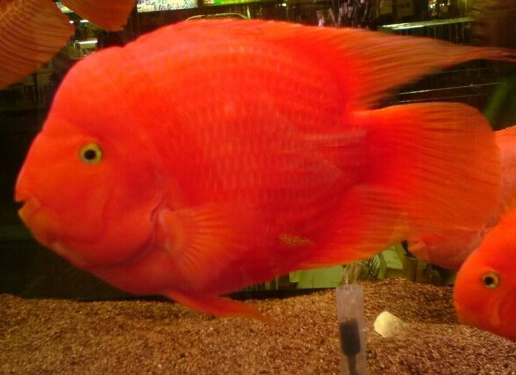 28 best blood red parrot cichlids and other parrot hybrids for Blood parrot fish