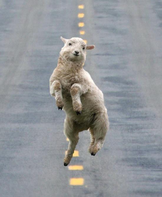 Saute, mouton !