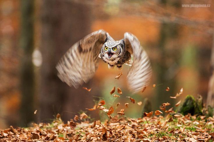 Большая рогатая сова - Great Horned Owl  Photo by Peter Krejzl - Google+