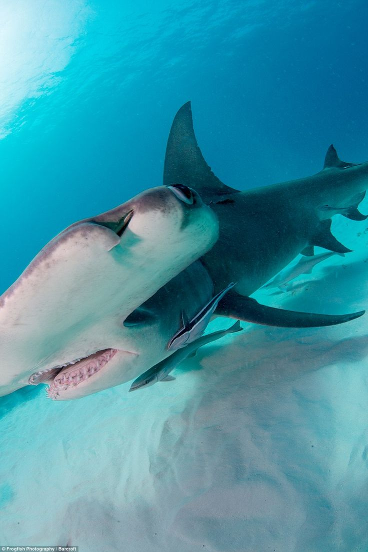 775 best duna duna nananana images on pinterest shark week